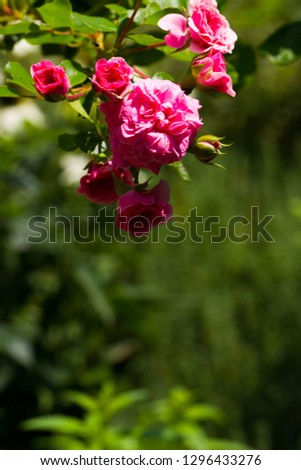 Polyantha roses, small pink roses, free green field for text. Bright sunny day. Great background for the site.