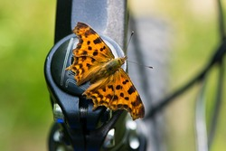 Polygonia c-album. Beautiful orange comma butterfly with spread wings. The insect sits on the handlebars of a bicycle. close-up, macro nature. environment, butterfly on iron parts