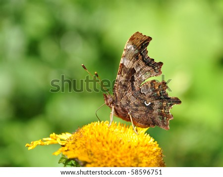 polygonia c- album, comma butterfly