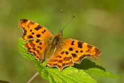 Polygonia c-album, the comma, orange butterfly on vegetation, Entomology.