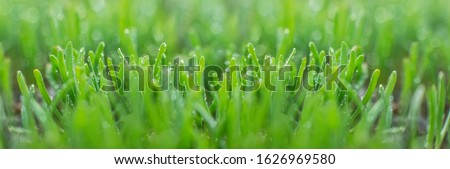Polygonum aviculare, common knotgrass, prostrate knotweed, birdweed, pigweed and lowgrass. Young green grass sprouts on green background. Spring background. Fresh microgreens. Selective soft focus