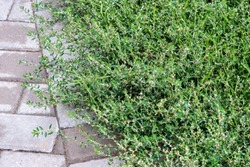 Polygonum aviculare or common knotgrass is a plant related to buckwheat and dock. It is also called prostrate knotweed, birdweed, pigweed and lowgrass.