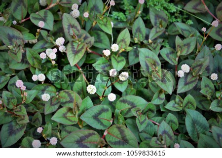 Polygonum-Capitatum with flowers on pavement floor