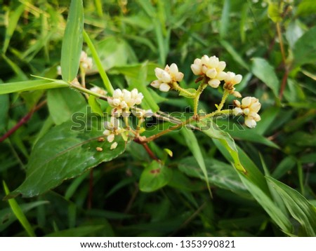 Polygonum chinense buds