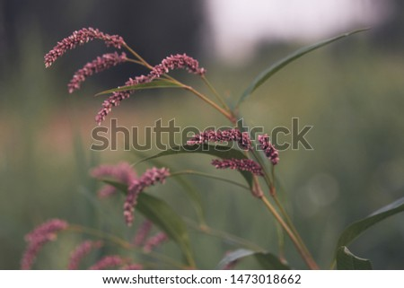 Polygonum lapathifolia, the pale persicaria, on green blurred background