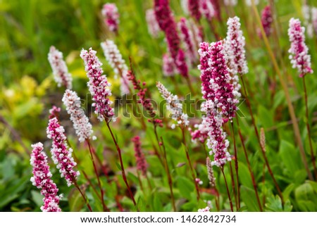 Polygonum offine in garden. Flower of polygonum offine. Medicinal plants in the garden.