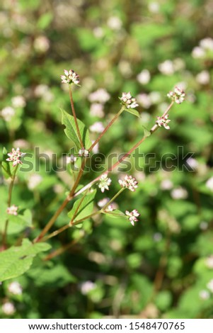 Polygonum thunbergii flowers / Polygonum thunbergii grows on fertile watersides and blooms many pink flowers in autumn.