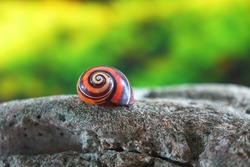 Polymita picta or Cuban snails one of most colorful and beautiful land snails in the wolrd from Cuba , its known as