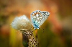 Polyommatus bellargus, Adonis Blue, is a butterfly in the family Lycaenidae. Beautiful butterfly sitting on flower. Occurrence of species in Europe, Russia and Iraq.