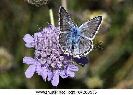 Polyommatus coridon (Lysandra coridon) - Male Chalkhill Blue butterfly sitting on a scabious bloom in Italy, Europe