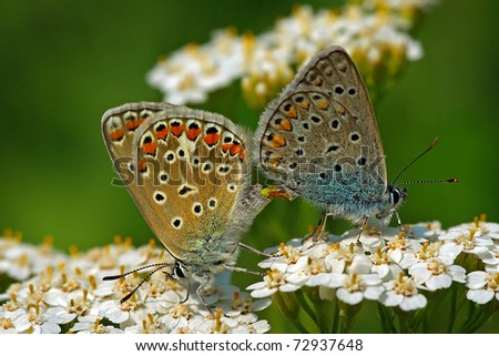Polyommatus icarus in love - stock photo