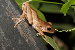 Polypedates leucomystax is a species in the shrub frog family Rhacophoridae. It is known under numerous common names, including common tree frog, four-lined tree frog, golden tree frog or striped tree