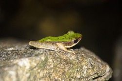 Polypedates leucomystax sitting on a stone with a smiling face. Some kind of Reptile like frog at the night. Rain forest.  Thailand