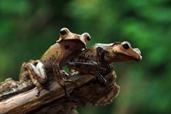 Polypedates otilophus closeup on wood with black background, Polypedates otilophus closeup