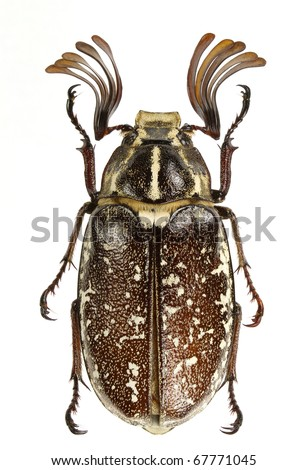 Polyphylla boryi (lined june beetle) isolated on a white background.