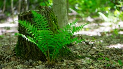 Polypodiophyta. green fern leaves. forest fern has grown between trees. green moss, old tree stump. fern plant that has grown in an old tree in the park. summer or autumn, natural background
