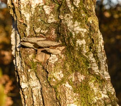 polypore fungi on old birch tree stem