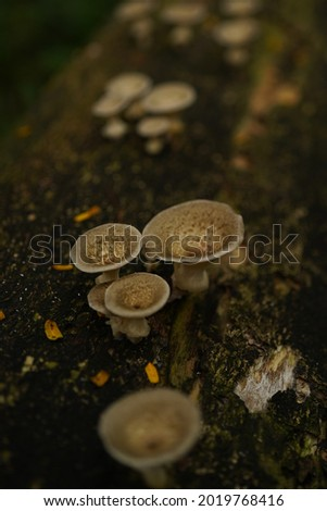 Polyporus tuberaster, bresadolia craterella, polypore, Polyporus means having many pores and fungi in this genus have tubes, tuberaster means tubers and in the case of the Tuberous Polypore. Foto stock ©