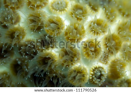 Polyps of a stony coral