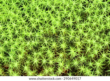 Polytrichum common. A moss at the beginning of summer in the north of Siberia