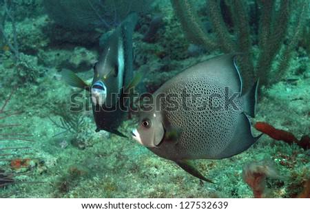 Pomacanthus arcuatus, aka gray angelfish, in ocean