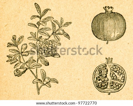 Pomegranate - blooming twig and fruit - old illustration by unknown artist from Botanika Szkolna na Klasy Nizsze, author Jozef Rostafinski, published by W.L. Anczyc, Krakow and Warsaw, 1911 - stock photo