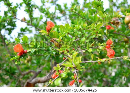 Pomegranate blossom, Costa Blanca, Spain #1005674425