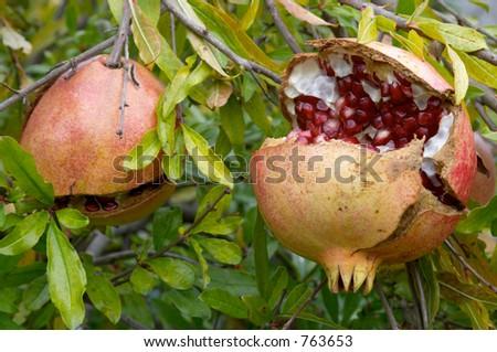 Pomegranate fruit, Punica granatum, in autumn