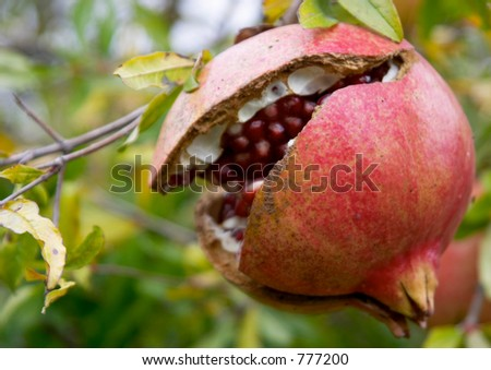 Pomegranate fruit, Punica granatum, in autumn