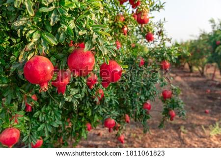 pomegranate on the tree. Rosh Hashanah symbol Сток-фото ©