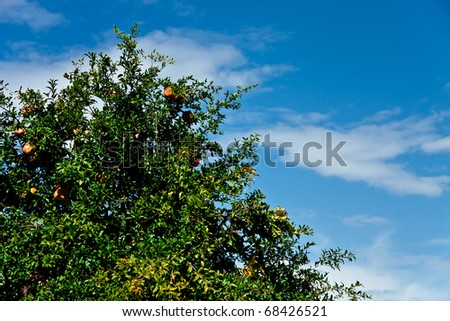 pomegranate tree against the blue sky