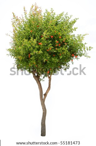 Pomegranate tree isolated on white background - stock photo