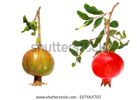 Pomegranates (ripe and unripe) isolated on the white background