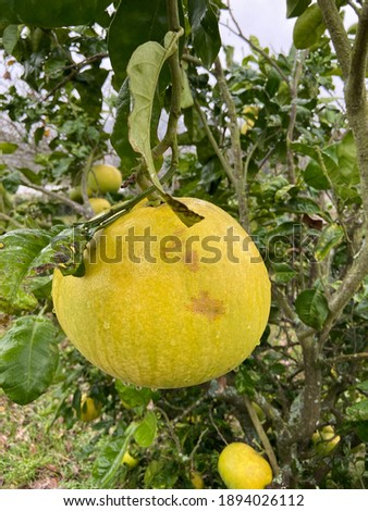 Pomelo, ripening fruits of the pomelo, natural citrus fruit, green pomelo hanging on branch of the tree on background of huge green leaves. Foto stock ©