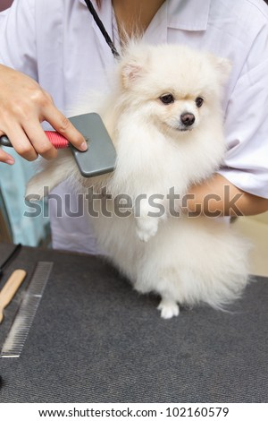 pomeranian after shower with brush