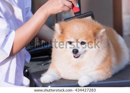 Pomeranian after shower with brush grooming, dog healthy concept.