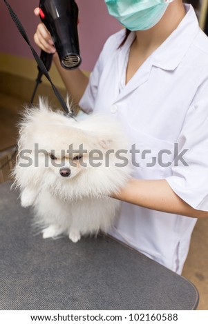 pomeranian after shower with hairdryer