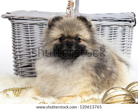 Pomeranian christmas dog