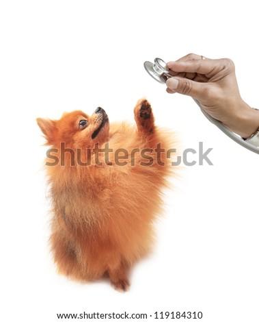 pomeranian dog and hand holding stethoscope isolated white