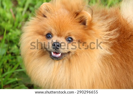 Pomeranian dog and his beautiful smile #290296655