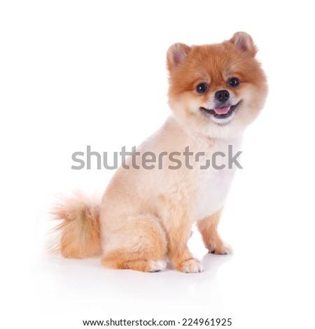 Stock Photo pomeranian dog brown short hair on white background