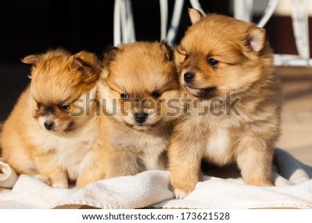 pomeranian dog,closeup portrait pomeranian dog small dog is a pet of the peoples