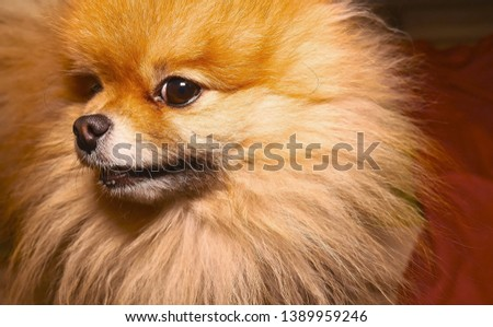 Pomeranian dog. Fluffy spitz puppy looking into the corner of the frame. Portrait of a fluffy dog in the home.  #1389959246