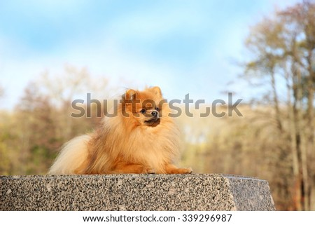 Pomeranian dog. Funny autumn pomeranian dog. Dog in autumn park. Serious dog. Cute dog