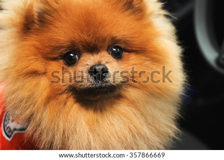 Pomeranian dog in car. Cute dog in car. #357866669