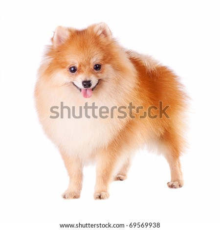 Pomeranian dog isolated on a white background