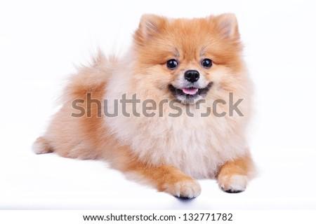 Stock Photo pomeranian dog isolated on white background