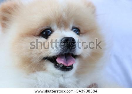 Pomeranian Dog Light Brown Color Looking The Camera Lovely Pet Ez