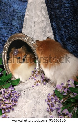 Pomeranian Dog Looks into vintage mirror at own reflected image with pearls,begonia flowers and lace on a blue mottled backdrop -large file