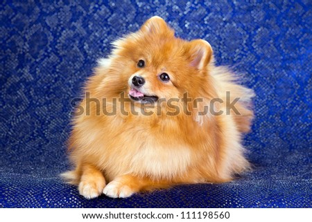 Pomeranian dog lying on a blue background